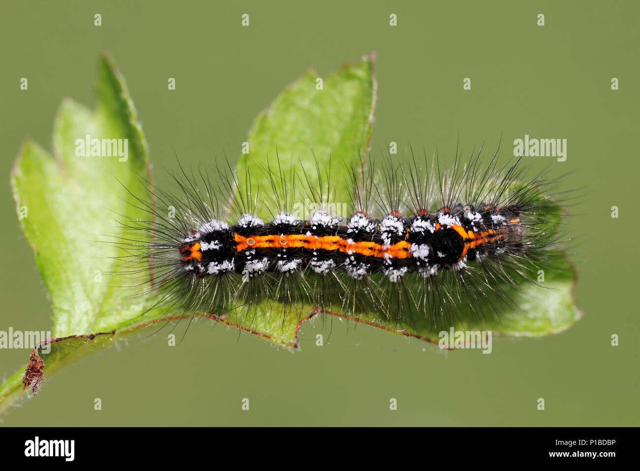 Gelb - Schwanz Euproctis imilis Caterpillar Stockbild