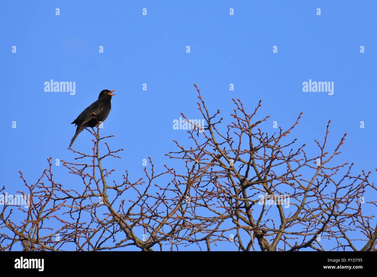 Amsel auf einem Baum Stockbild