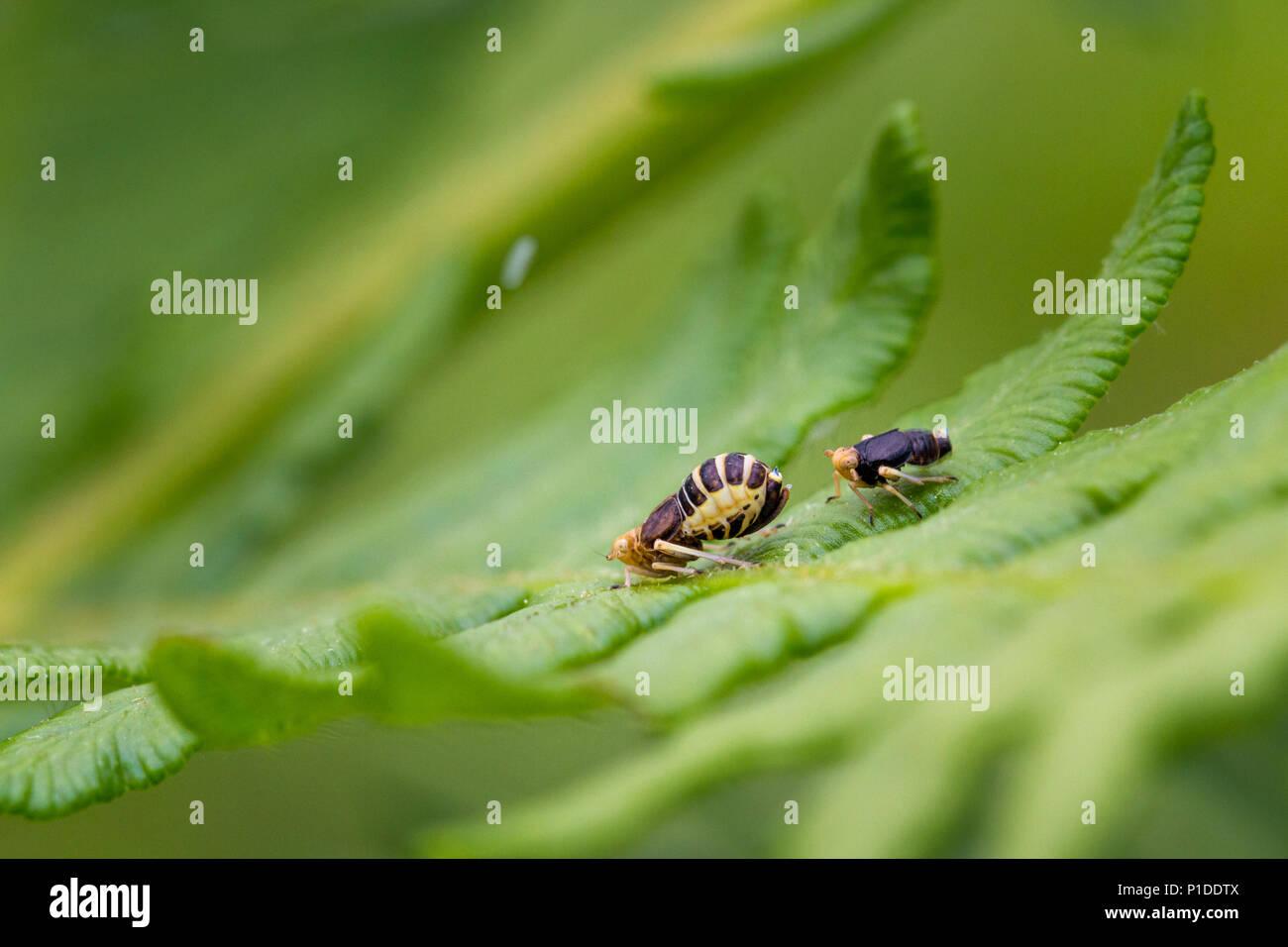 UK Wildlife: Wahrscheinlich mate Bewachung von Männchen (rechts) planthopper des Weiblichen, die gerade ein Ei in die Luft geschleudert hat - siehe weiße Bewegungsunschärfe von Ei Stockbild