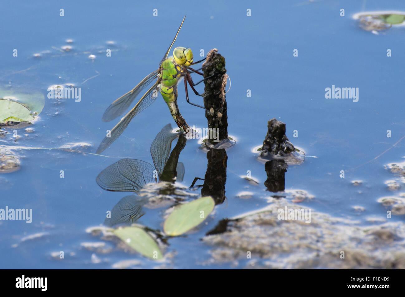 Frau Kaiser Dragonfly (Anax imperator) ovipositing (Eier), die in einem Teich in Hampshire, Großbritannien Stockbild