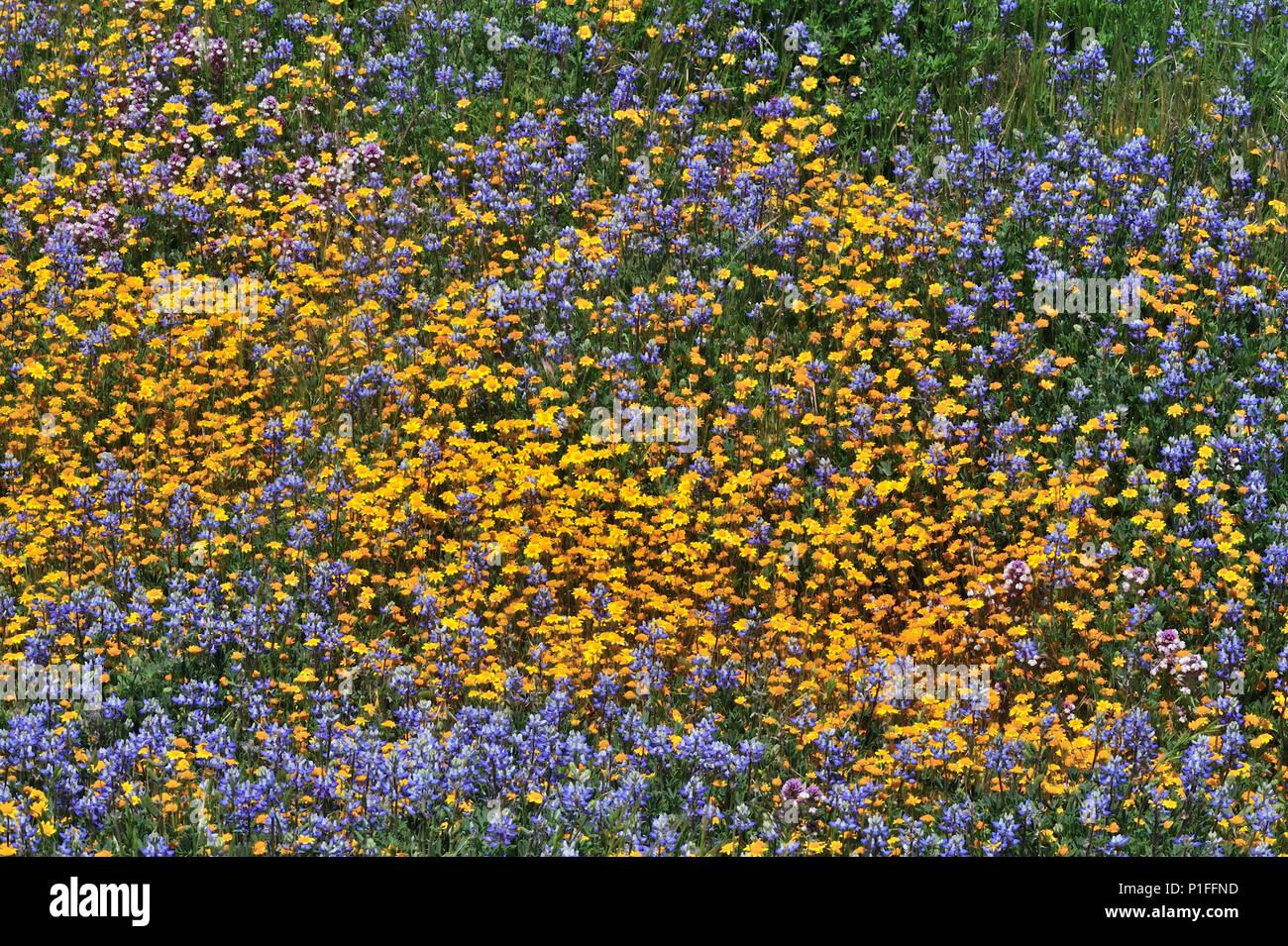 Goldfields, Lasthenia sp., Miniatur, Lupine Lupinus bicolor, Owl's Clover, Castilleja sp., Cuyamaca Rancho State Park, CA 080518_30421 Stockbild
