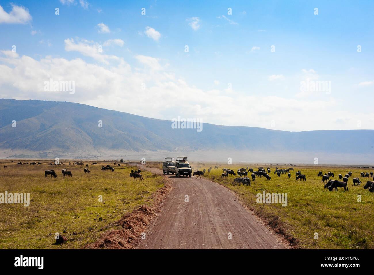 Gnus und Zebras grasen auf einer staubigen Ebene vor der Wartenden safari Fahrzeuge. Ngorongoro Nationalpark, Tansania, Afrika Stockbild