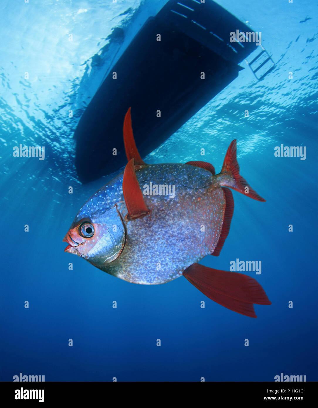 Opah, Lampris guttatus, Schwimmen unter dem Boot. Dieser Fisch ist in der Lage, seinen gesamten Körper Kern über Raumtemperatur aufrecht zu erhalten, werden der erste Stockfoto