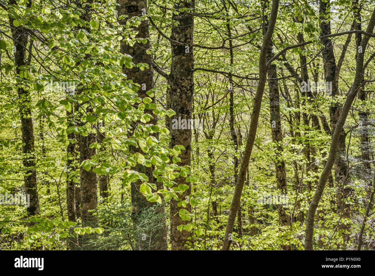 Die Buche (Fagus sylvatica) Wald, Nationalpark Aspromonte, Kalabrien, Italien Stockbild