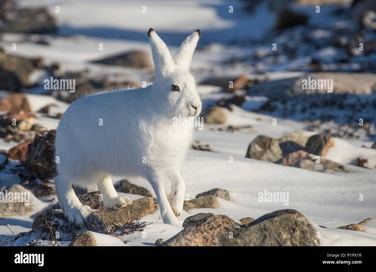 Arktis Hase (Lepus arcticus) im Schnee; Churchill, Manitoba, Kanada Stockbild
