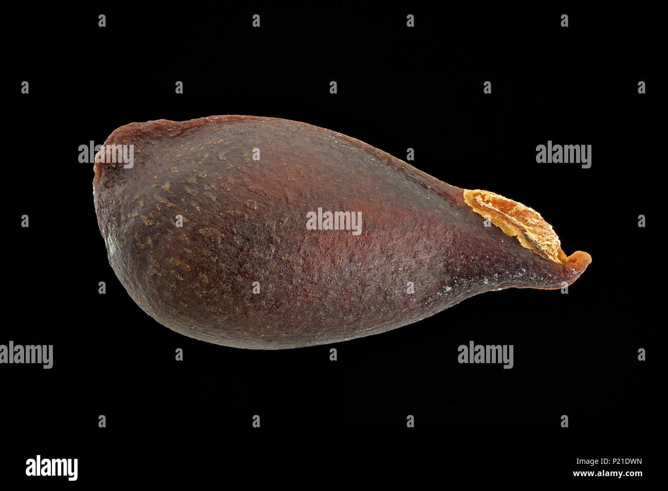 Pyrus Communis, Birne, Kultur-Birnbaum, Samen, Nahaufnahme, Saatgröße 10-12 mm Stockbild