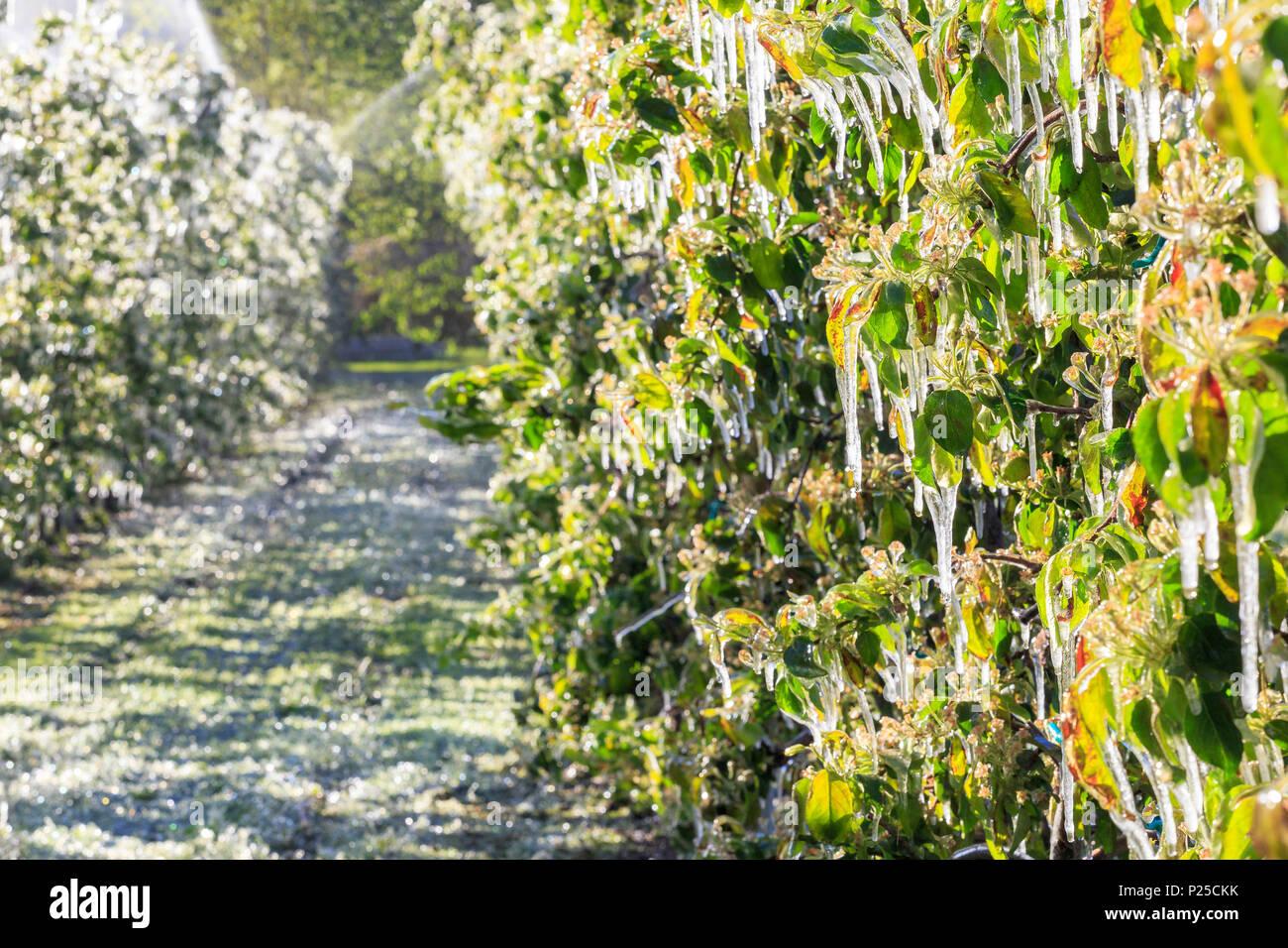 Eis Stalaktiten auf Apple Pflanzen nach der Bewässerung, der verhindert, dass das Einfrieren der Blumen. Tirano, Valtellina, Lombardei, Italien. Stockbild