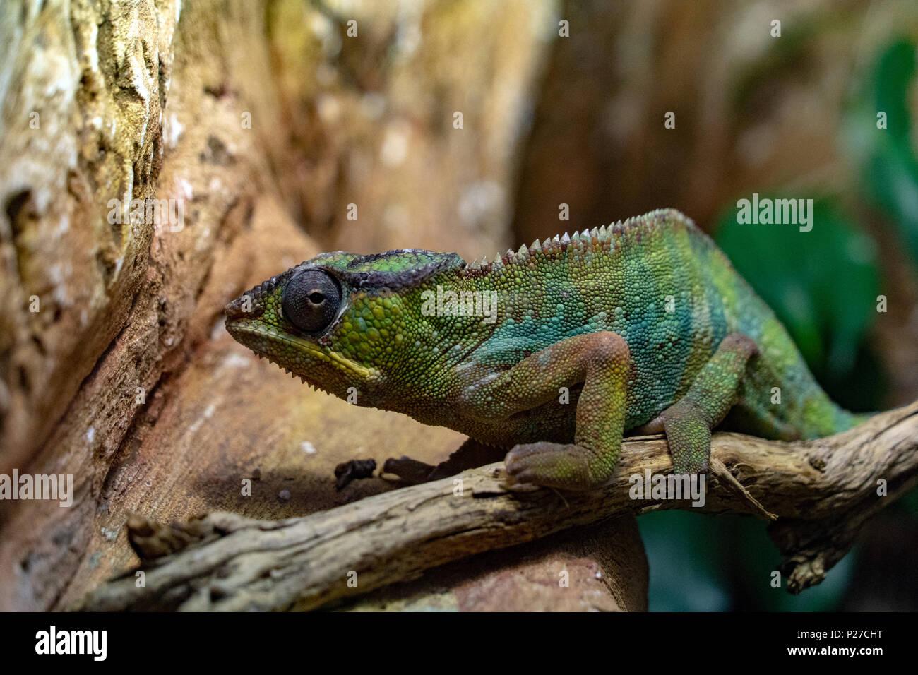 Panther Chamaleon camaleon Madagaskar Eidechse portrait Stockbild