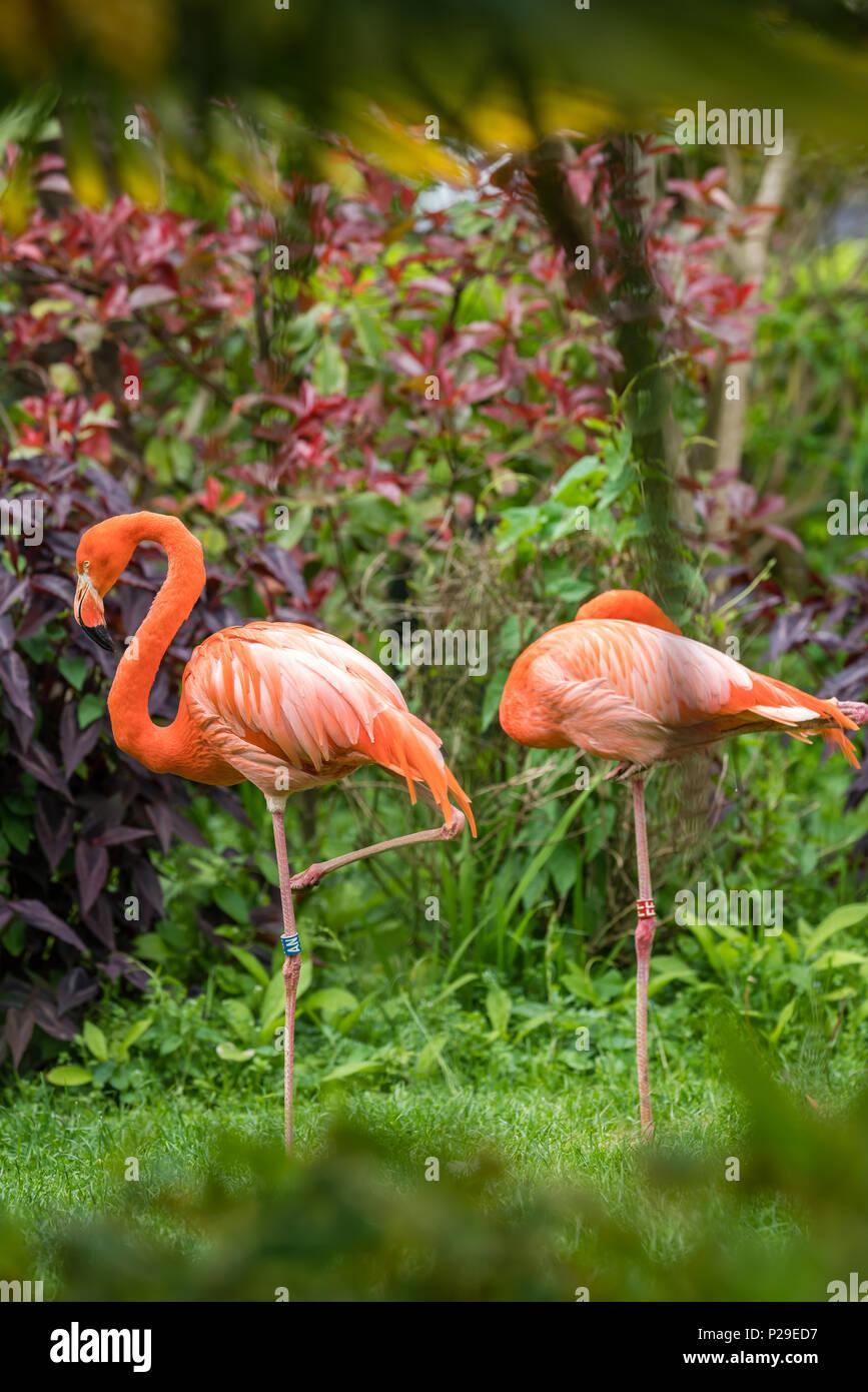 Schöne rosa Karibik flamingos Waten in einem Gras in einem Zoo Stockbild