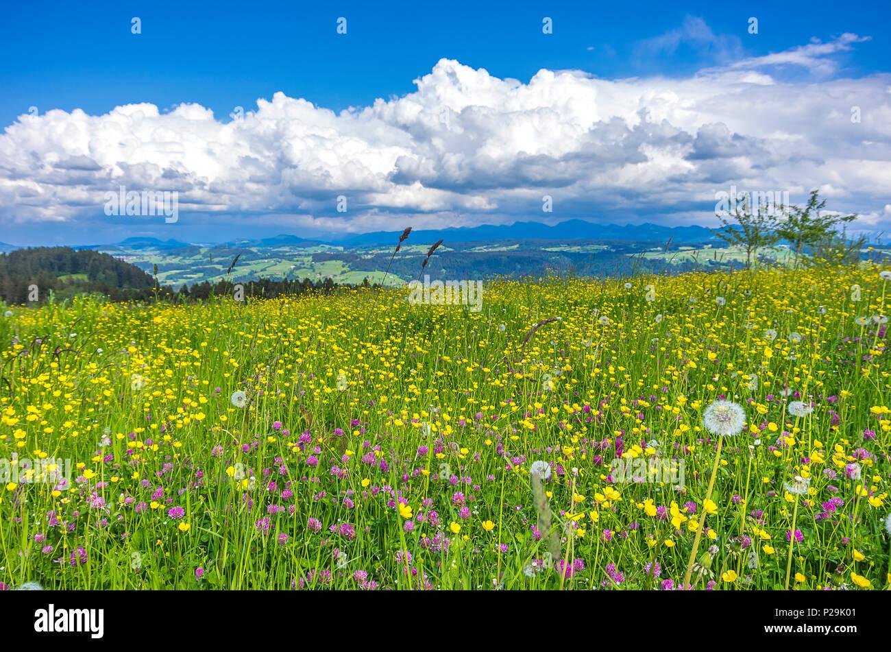 Landschaft mit Heu und Blumenwiese in der Westallgau Region rund um den Ort der Scheidegg in der Nähe von Lindau, Bayern, Deutschland. Stockbild