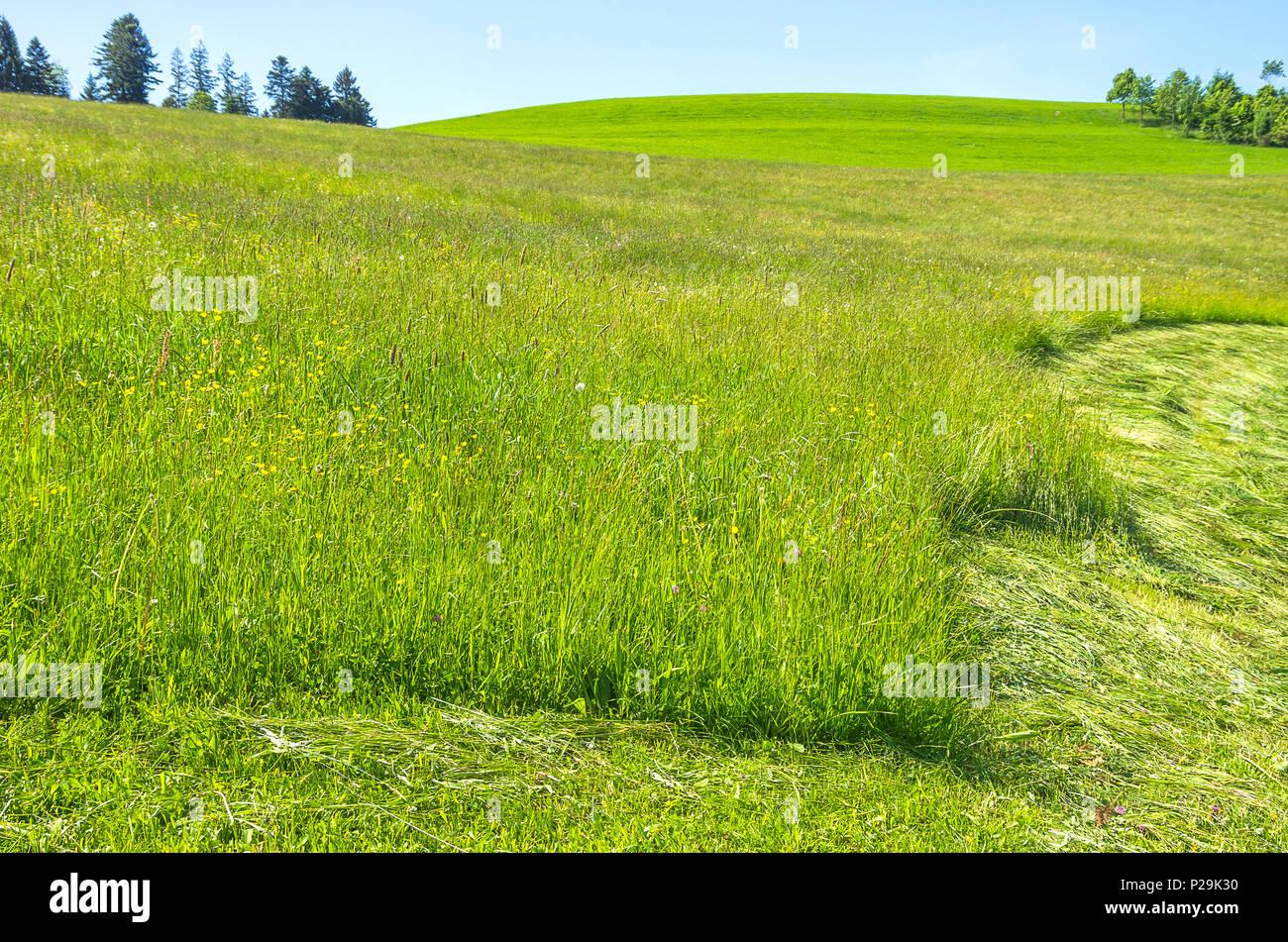Westallgau Hayfield in der Region rund um den Ort der Scheidegg in der Nähe von Lindau, Bayern, Deutschland. Stockbild