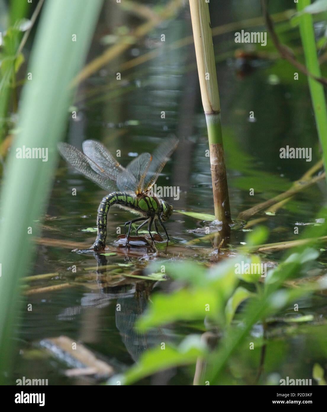 Haarige Dragonfly weibliche Eizelle zur Festlegung Stockbild