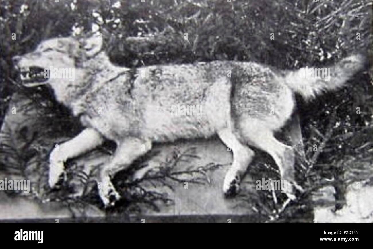 Letzter Wolf In Deutschland