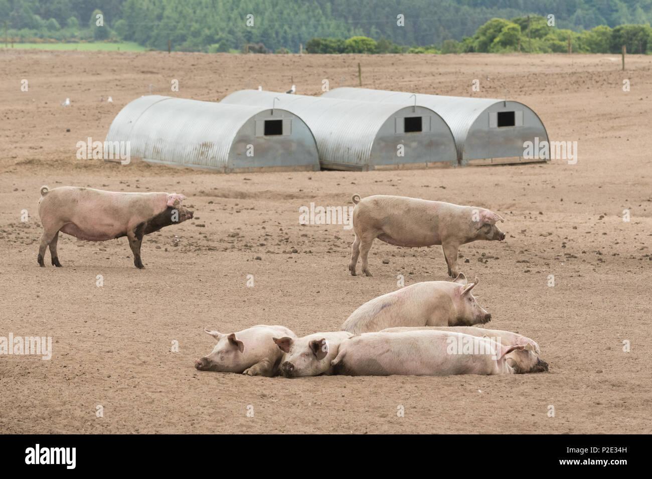 Freie Strecke Schweinefarm Schottland Großbritannien Stockbild
