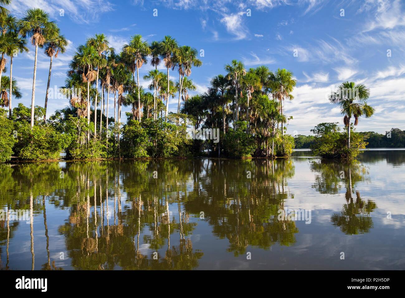 Mauriti Palmen, Buriti, moriche Palmen, an Sandoval Lake, Mauritia flexuosa, Tambopata National Reserve, Peru, Südamerika Stockbild