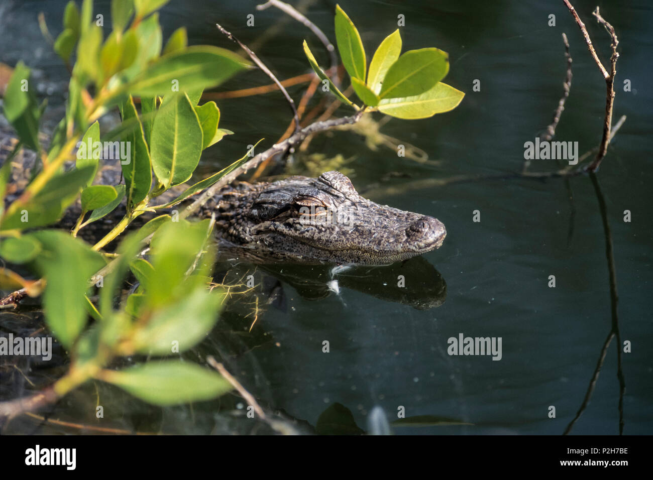 Junge Mississippi-Alligator in Mangroven, Alligator mississippiensis Ding Darling, Florida, USA Stockbild