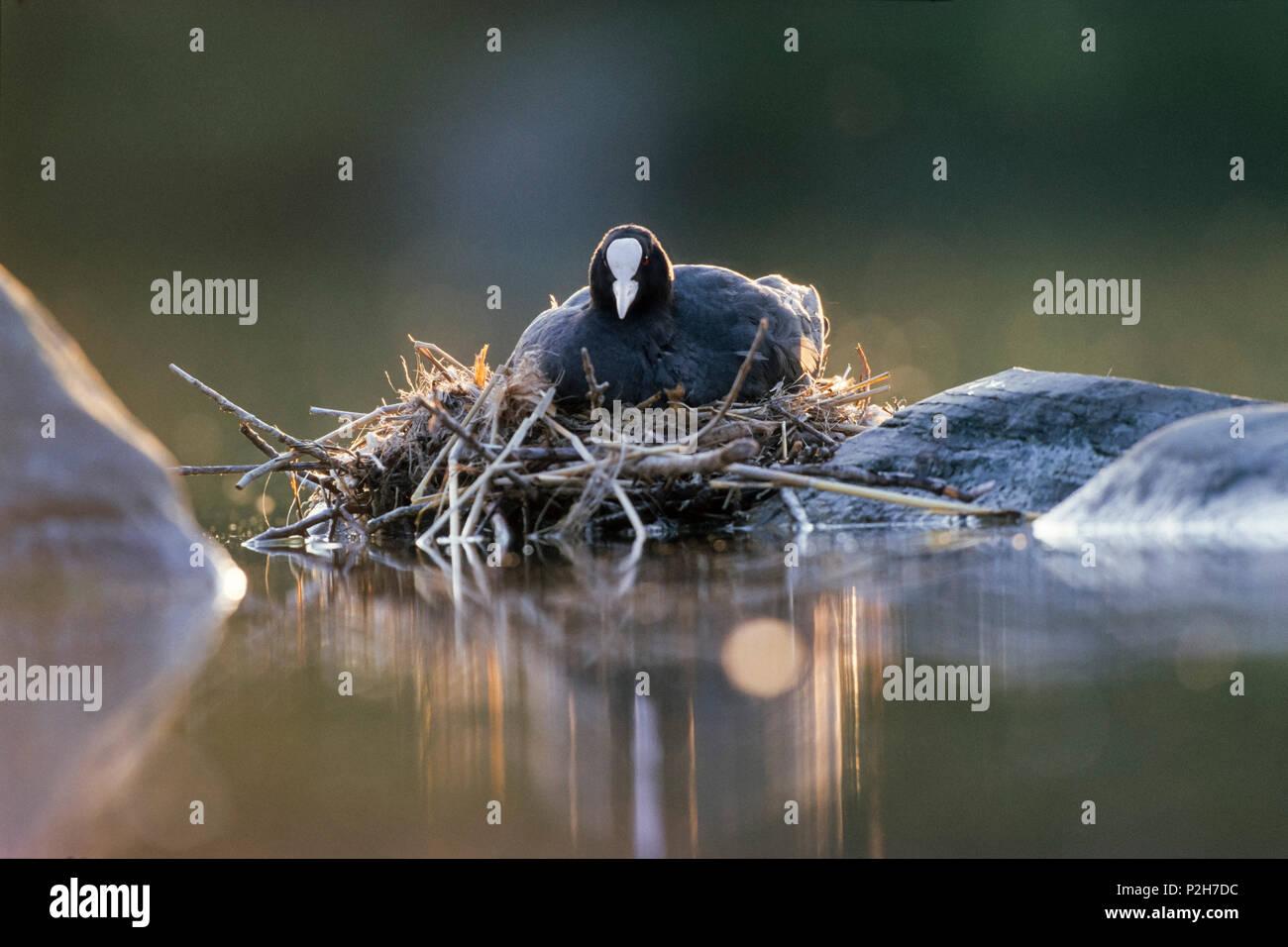 Blässhuhn Fulica atra am Nest, Bayern, Deutschland Stockbild