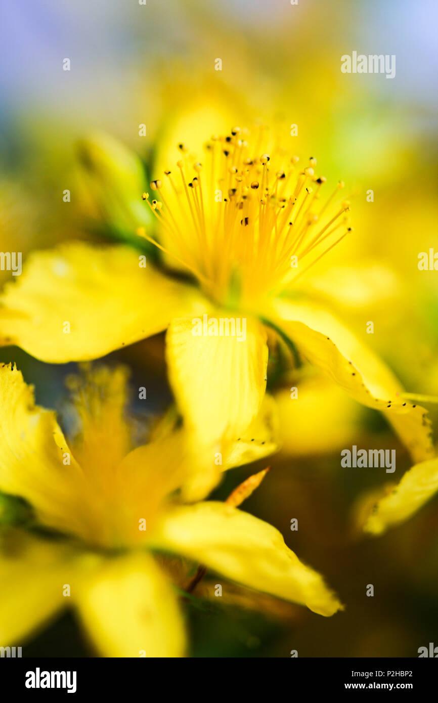 Gelbe Blüten von Johanniskraut. Stockbild