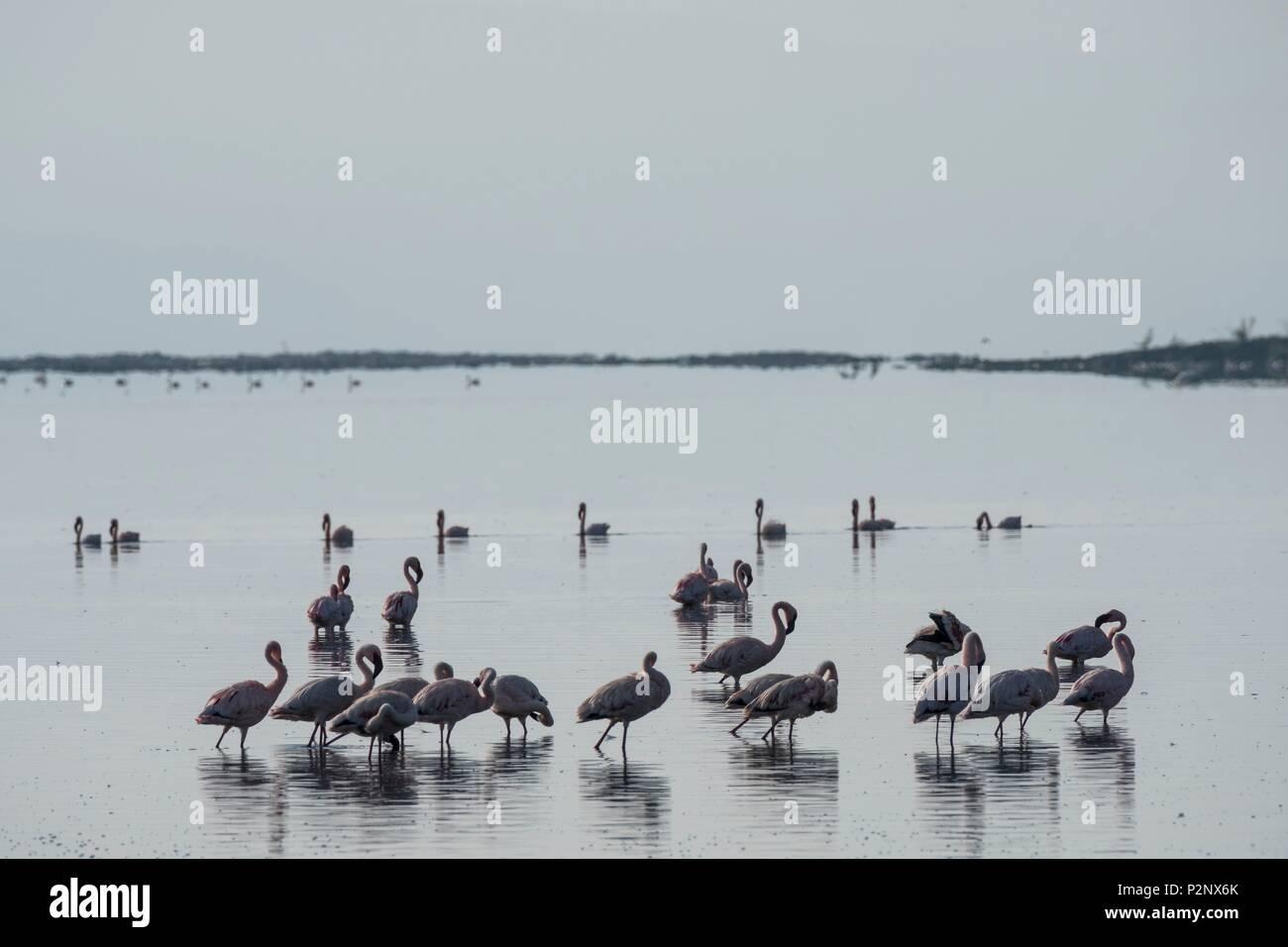 Kenia, Soysambu Conservancy, lesser Flamingo (Phoeniconaias minor), auf der Lake Elementeita Stockbild