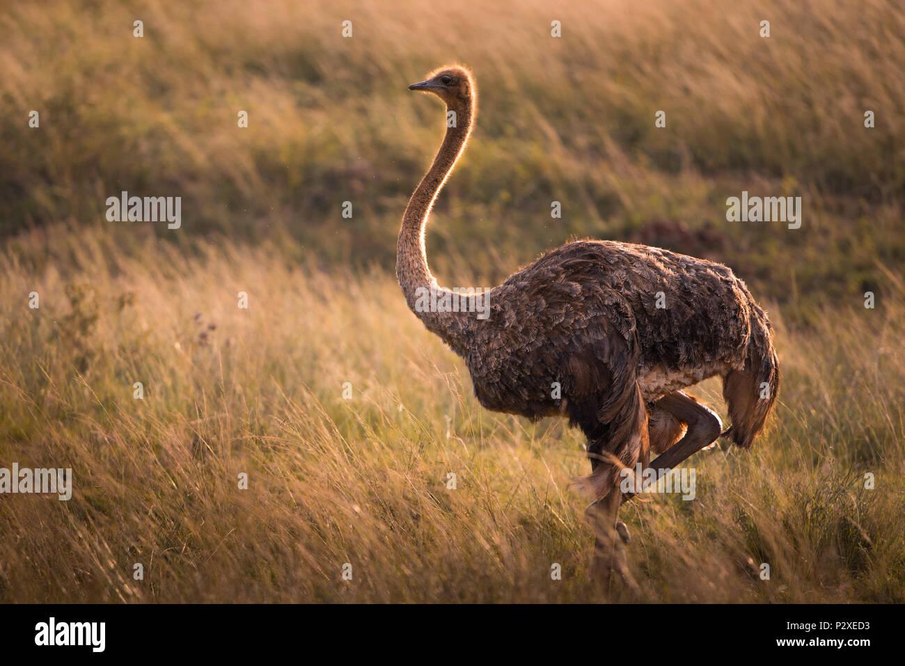 Einsame weibliche Strauß in der grasartigen afrikanische Savanne bei Goldenen Stunde Stockbild