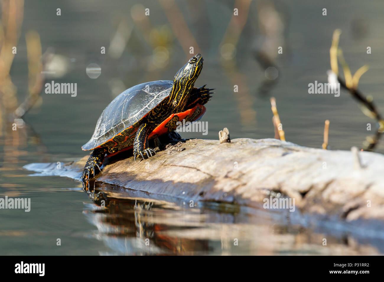 Ein Amerika gemalte Schildkröte (chrysemys picta) aalt sich in der Sonne auf einer Anmelden Fernan Lake in Idaho. Stockbild