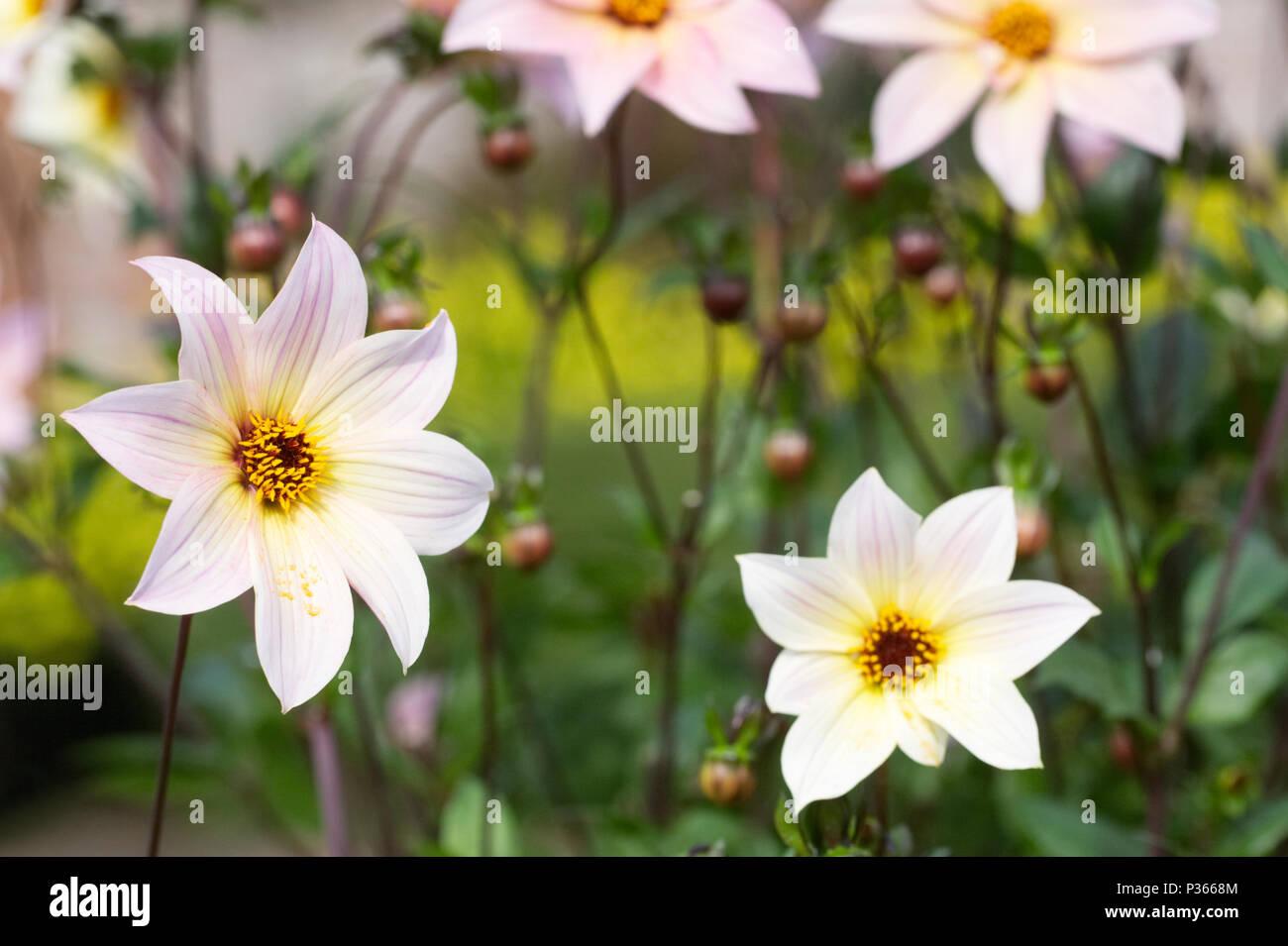 Dahlie 'Ethereal' Blumen. Stockbild