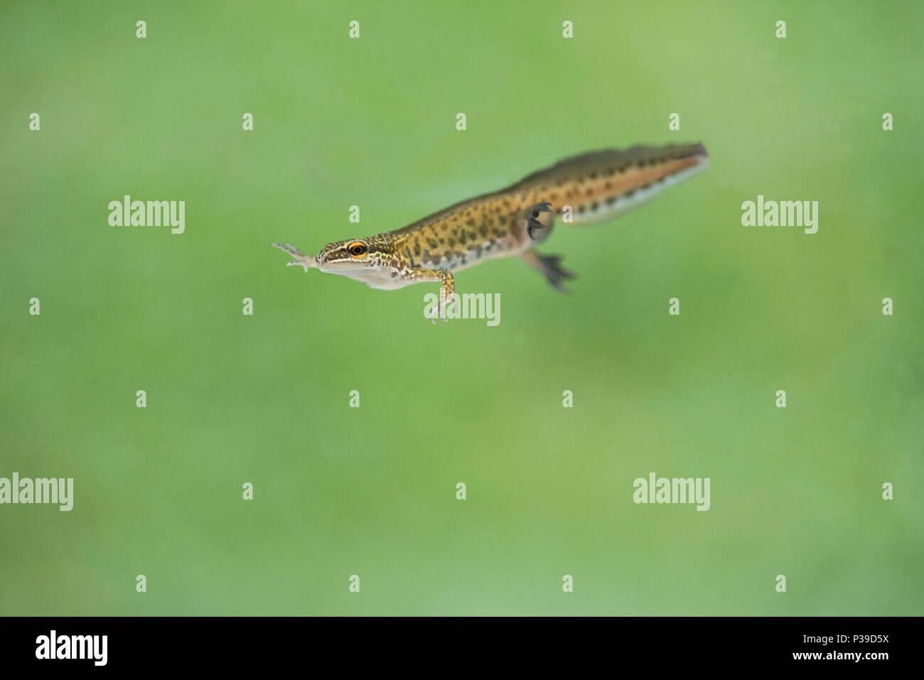 Männliche palmate Newt (Lissotriton helveticus) in Zucht Zustand, mit Schwimmhäuten zwischen den Hinterpfoten. Stockbild
