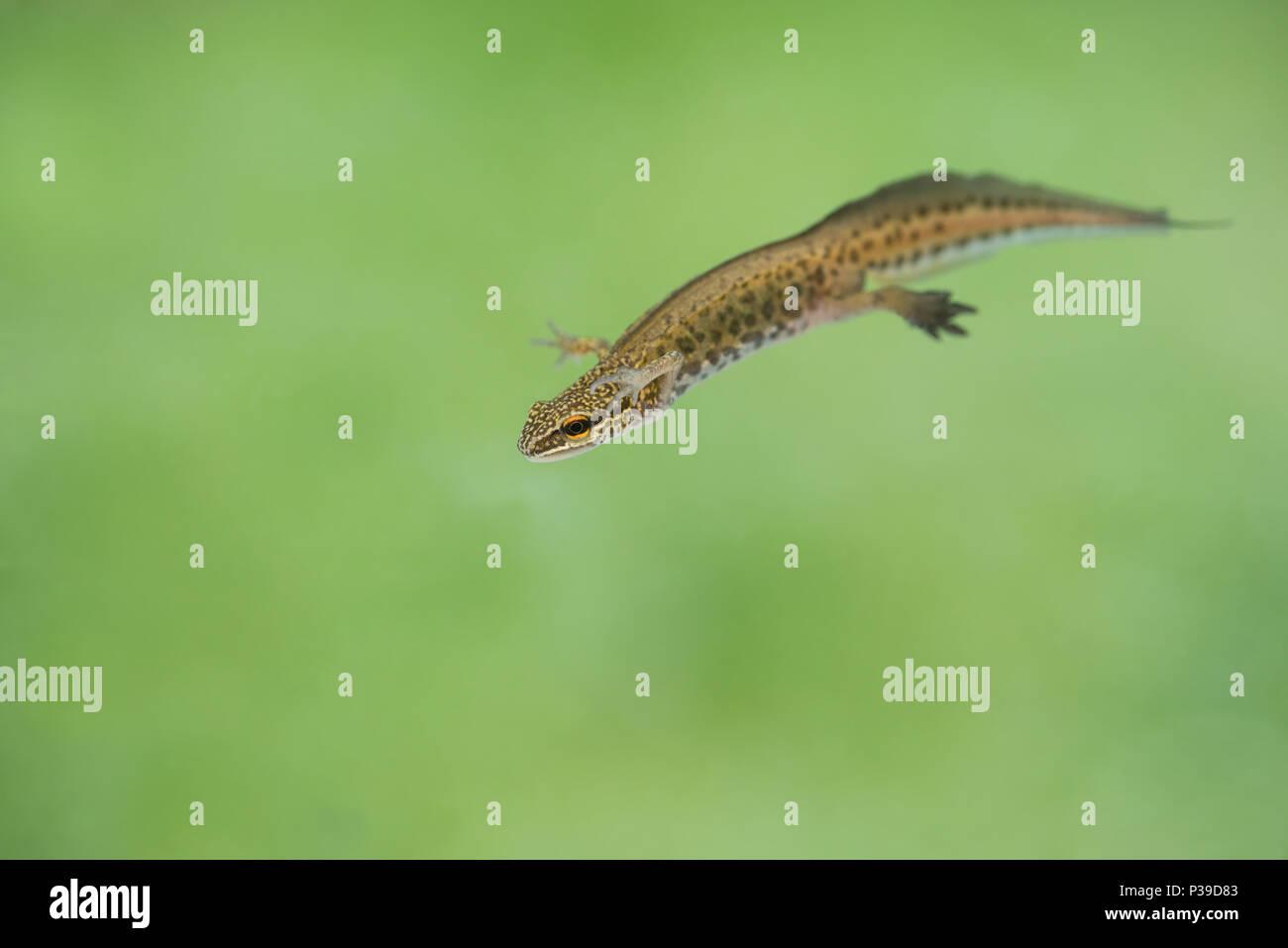Männliche palmate Newt (Lissotriton helveticus) in Zucht Zustand, mit Schwimmhäuten zwischen den Hinterpfoten und Filament auf dem Schwanz Stockbild