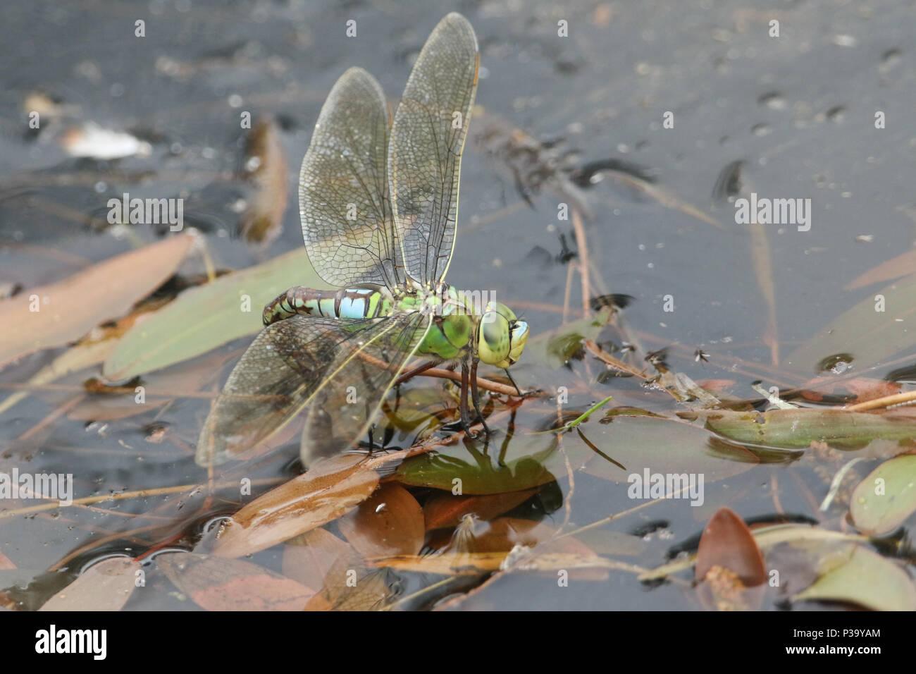 Eine atemberaubende Emperor Dragonfly (Anax imperator) ihre Eier in einen Teich. Stockbild