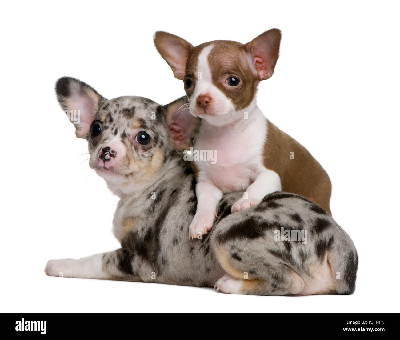 Chihuahua Welpen Zu Verschenken Chihuahua Welpen Kaufen Verkaufen 2020 05 14