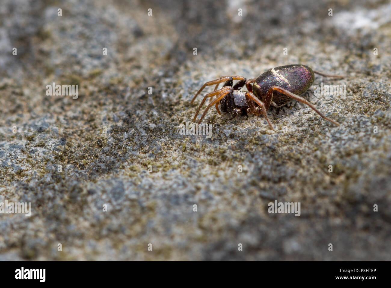 UK Wildlife: Die glänzende Ant nachahmen Spider Stockbild