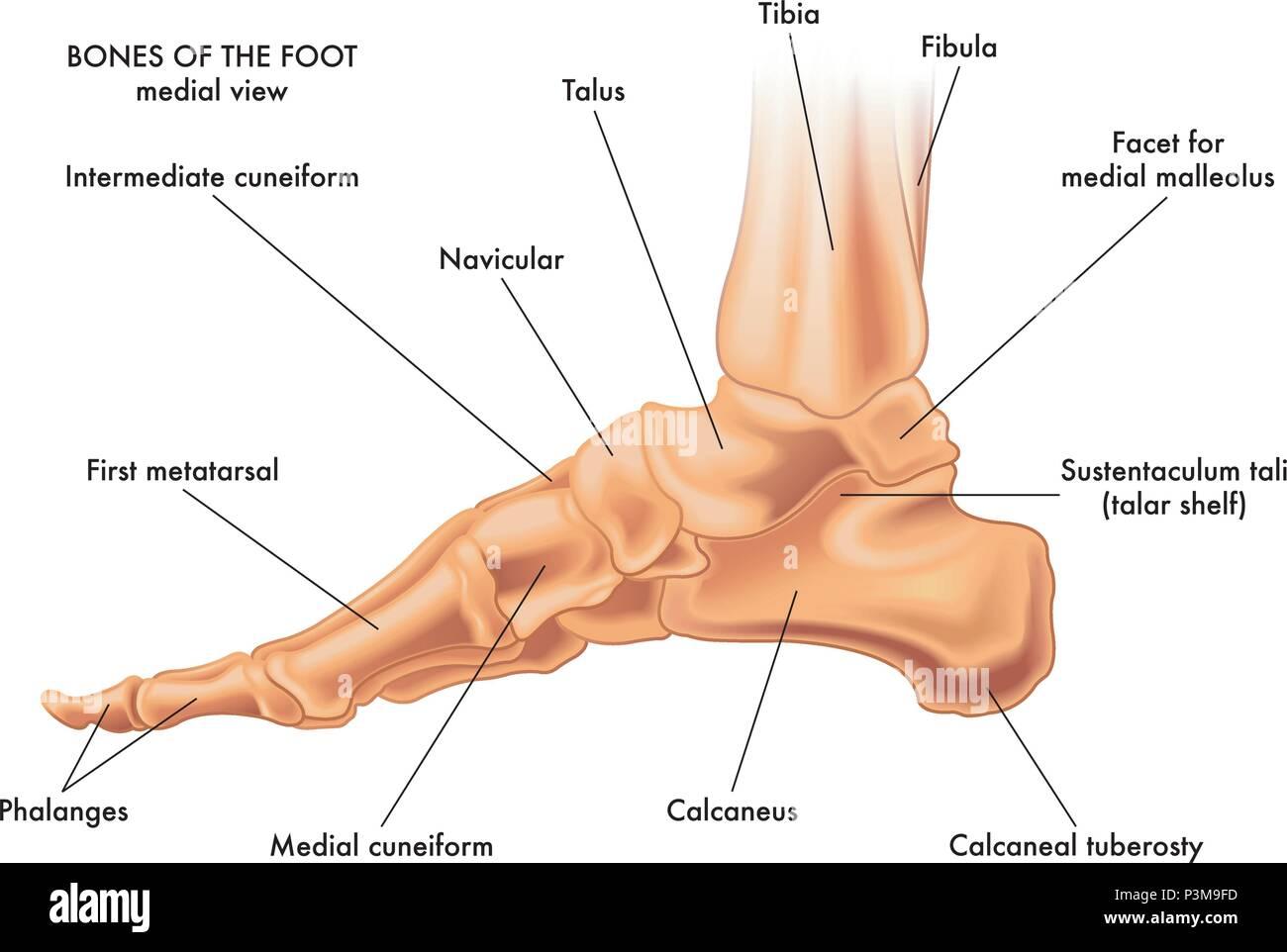 Eine medizinische Vector Illustration der Knochen von einem Fuß auf ...