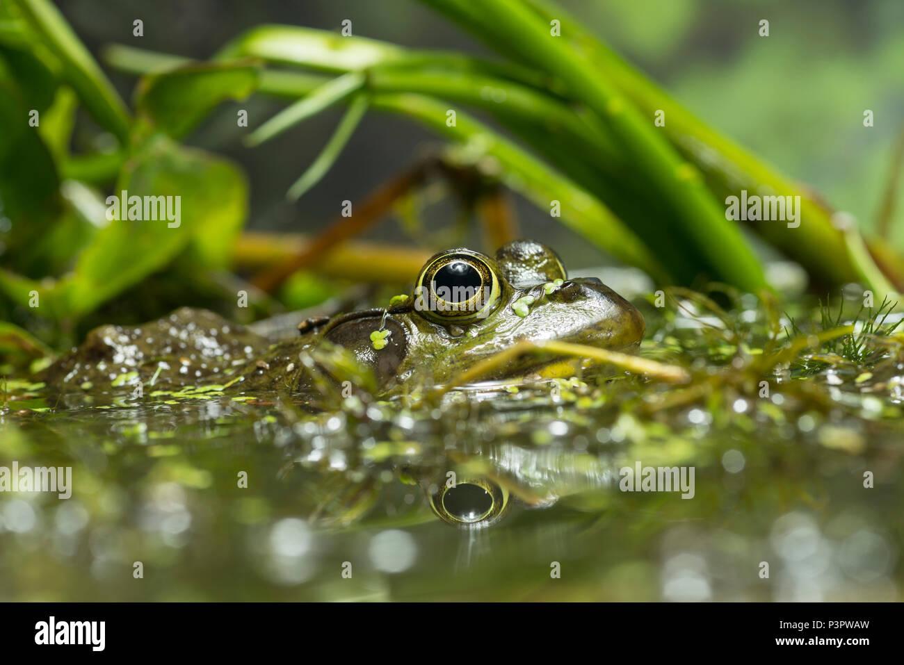 Amerikanische Ochsenfrosch (Rana catesbeiana) männlich in Feuchtgebieten, Nordamerika Stockfoto