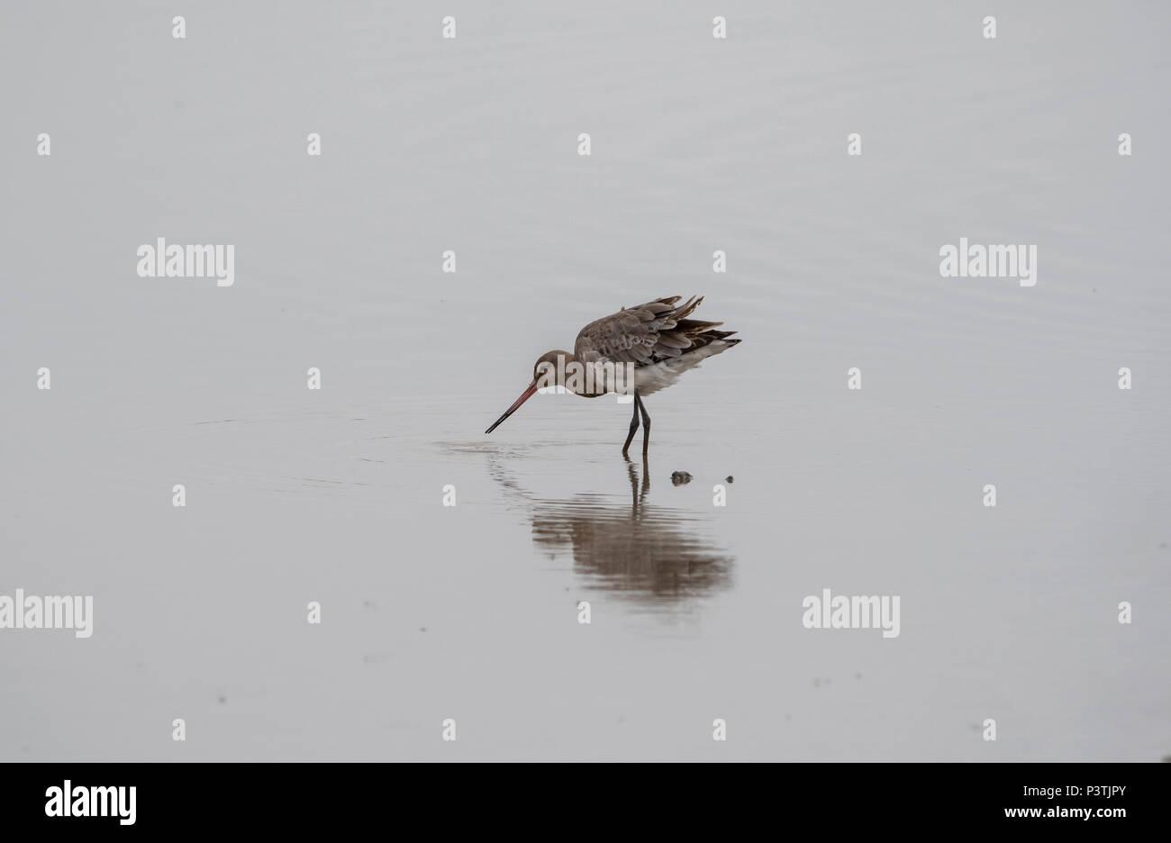 Schwarz tailed Godwits am Ufer, mit redflection Stockbild
