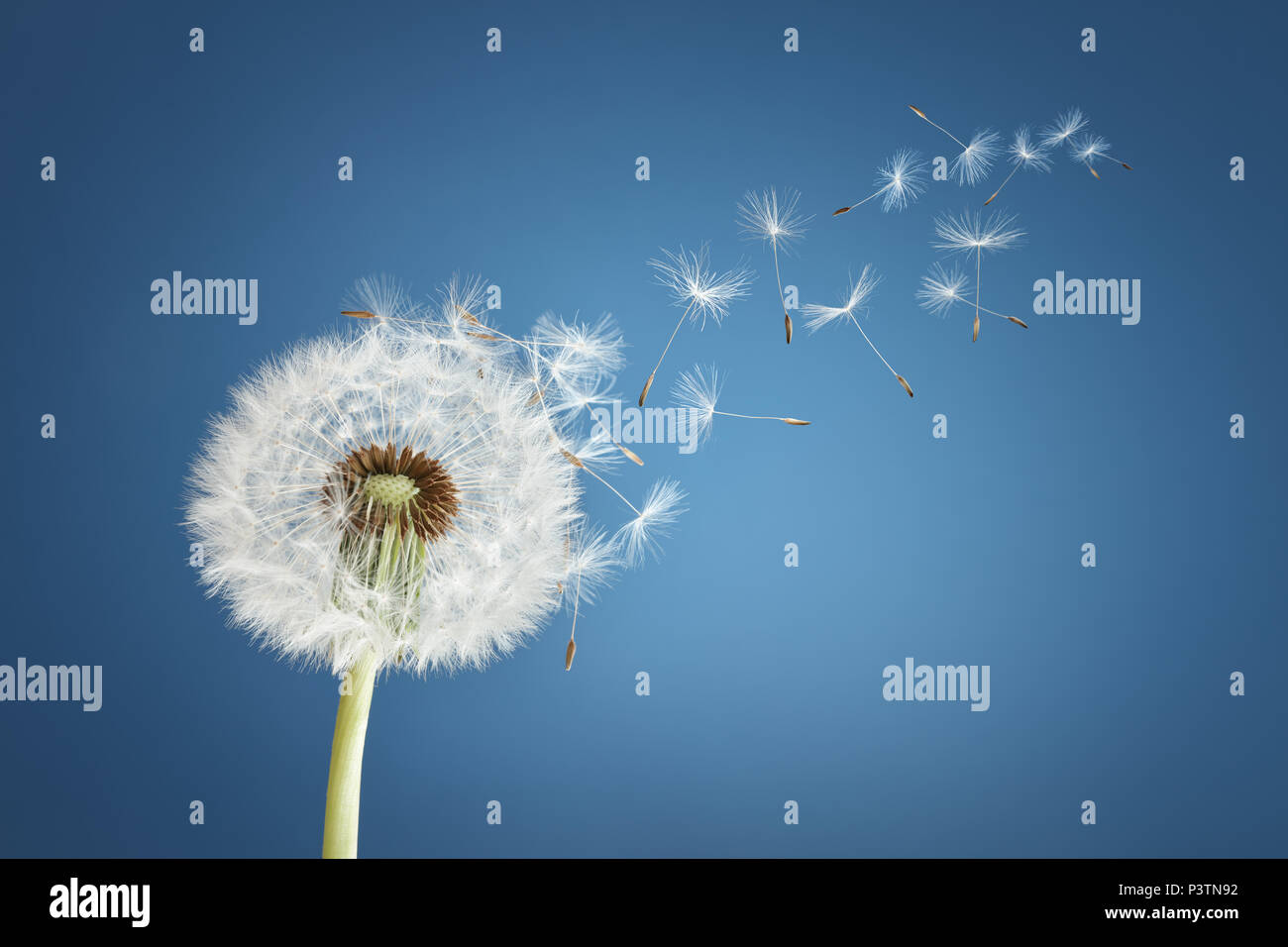 Löwenzahn mit Samen verwehen im Wind über einen strahlend blauen Himmel mit Textfreiraum Stockbild