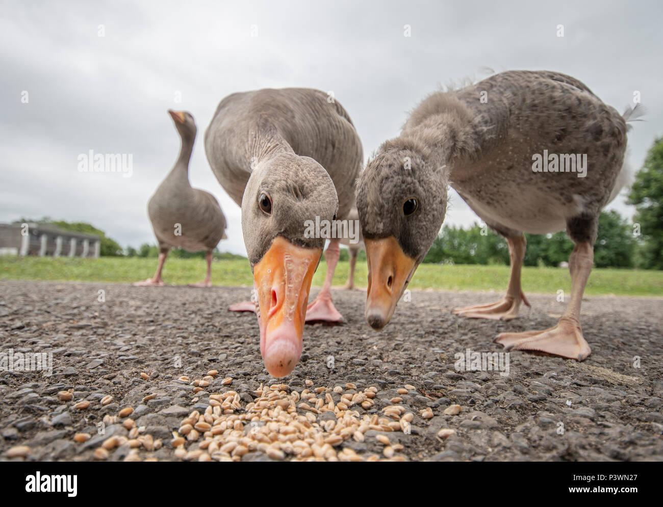 Gans und Gosling fressen in Slimbridge aus einem niedrigen Winkel Stockbild