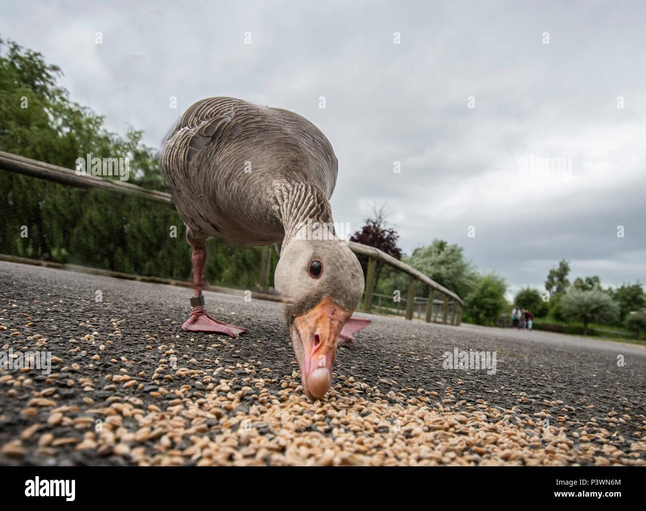 Low Angle View von Grey Goose fressen in der Feuchtgebiete slimbridge Centre Stockbild