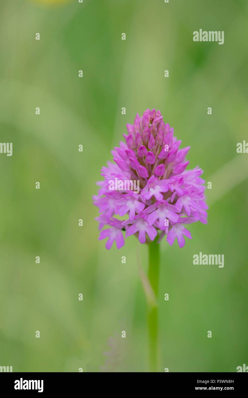 Anacamptis pyramidalis, Pyramid Orchid wild in der Wiese in Gloucestershire wachsende Stockbild