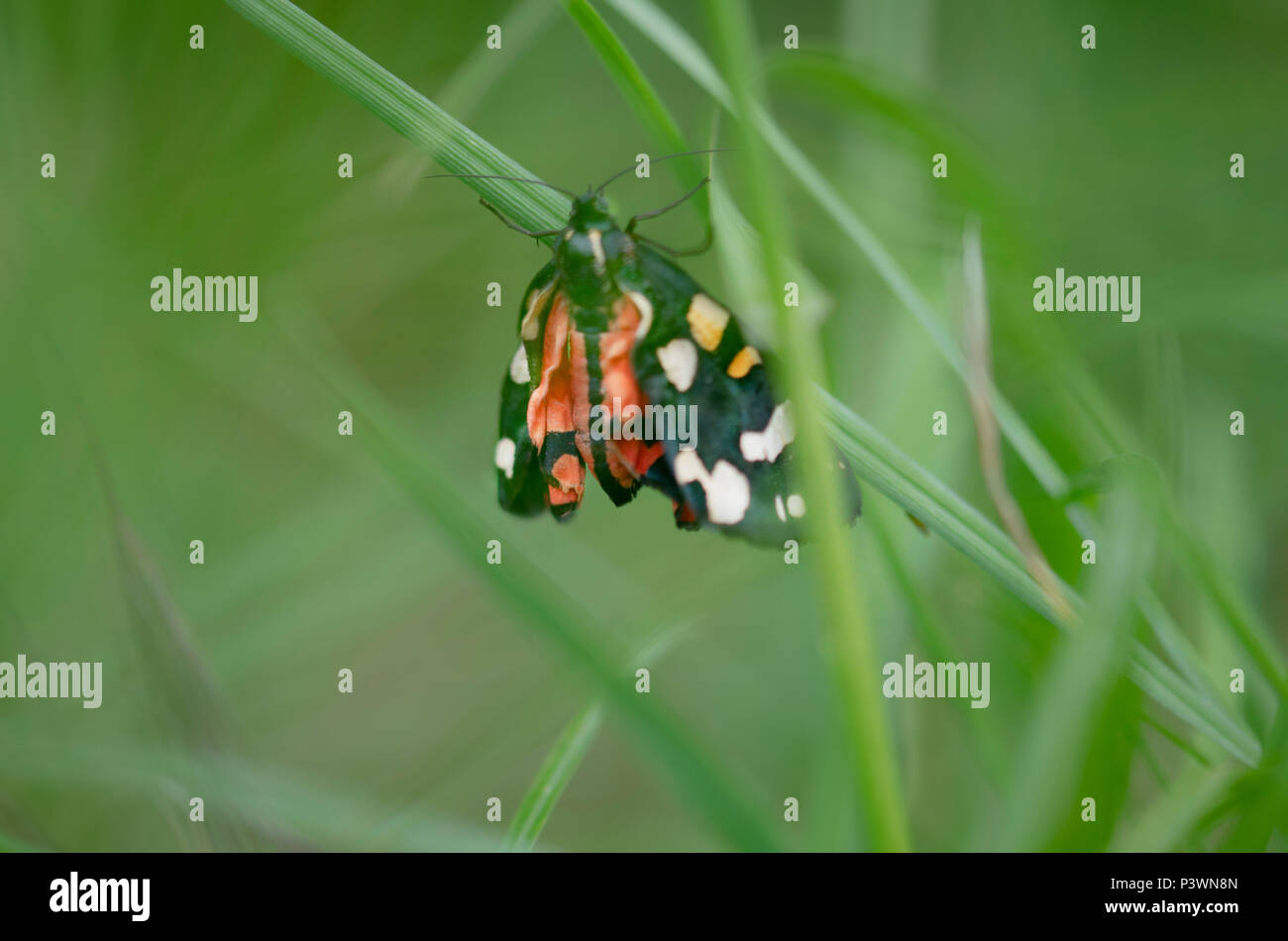Eine schöne scarlet Tiger Moth in einem Makro Soft Focus Bild Stockfoto