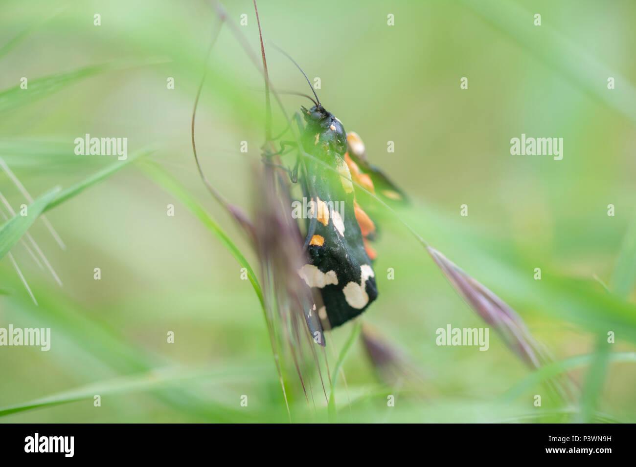 Eine schöne scarlet Tiger Moth in einem Makro Soft Focus Bild Stockbild