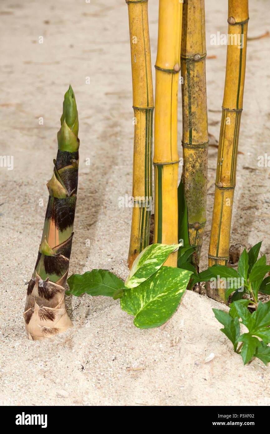 Bambus, Bambusspross, (Bambuseae), Vietnam, Asien Stockbild