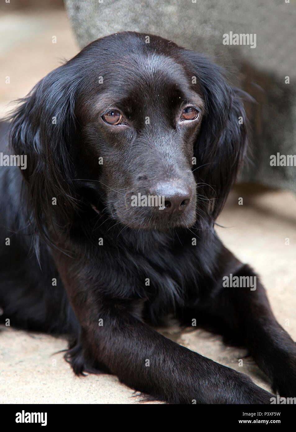 Junger, labradormischling Rüde Stockbild