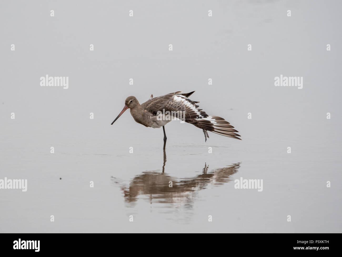 Eine schwarze tailed Godwit Wader im Wasser in ein weiches Licht mit Reflektion Stockbild