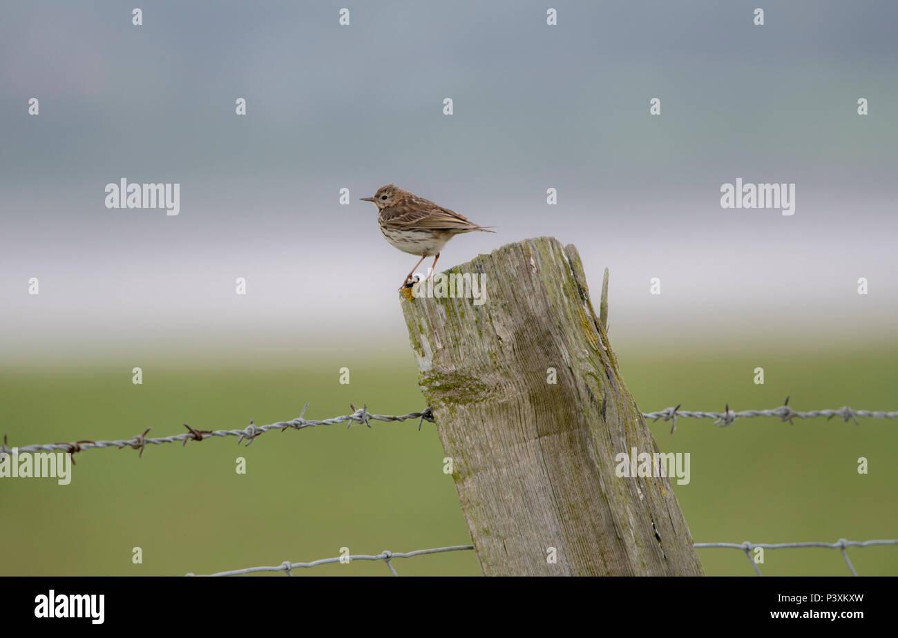 Einen kleinen Sumpf Pieper in Feldern rund um Slimbridge genommen Stockbild