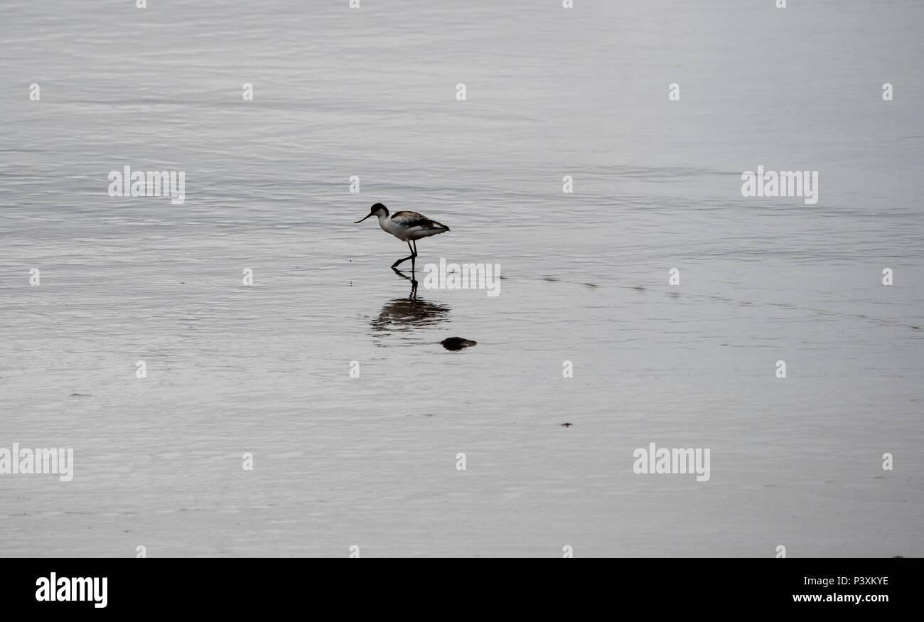 Säbelschnäbler Vogel an der Küste in Slimbridge Stockbild