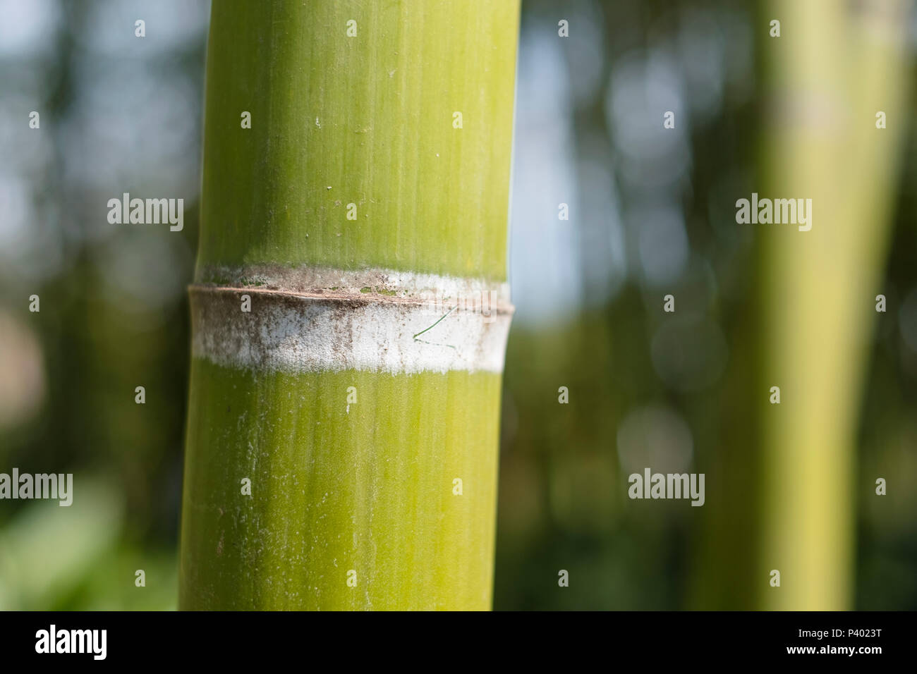 Niederlassungen Der Bambus Wald Auf Einem Hellen Tag Hintergrund