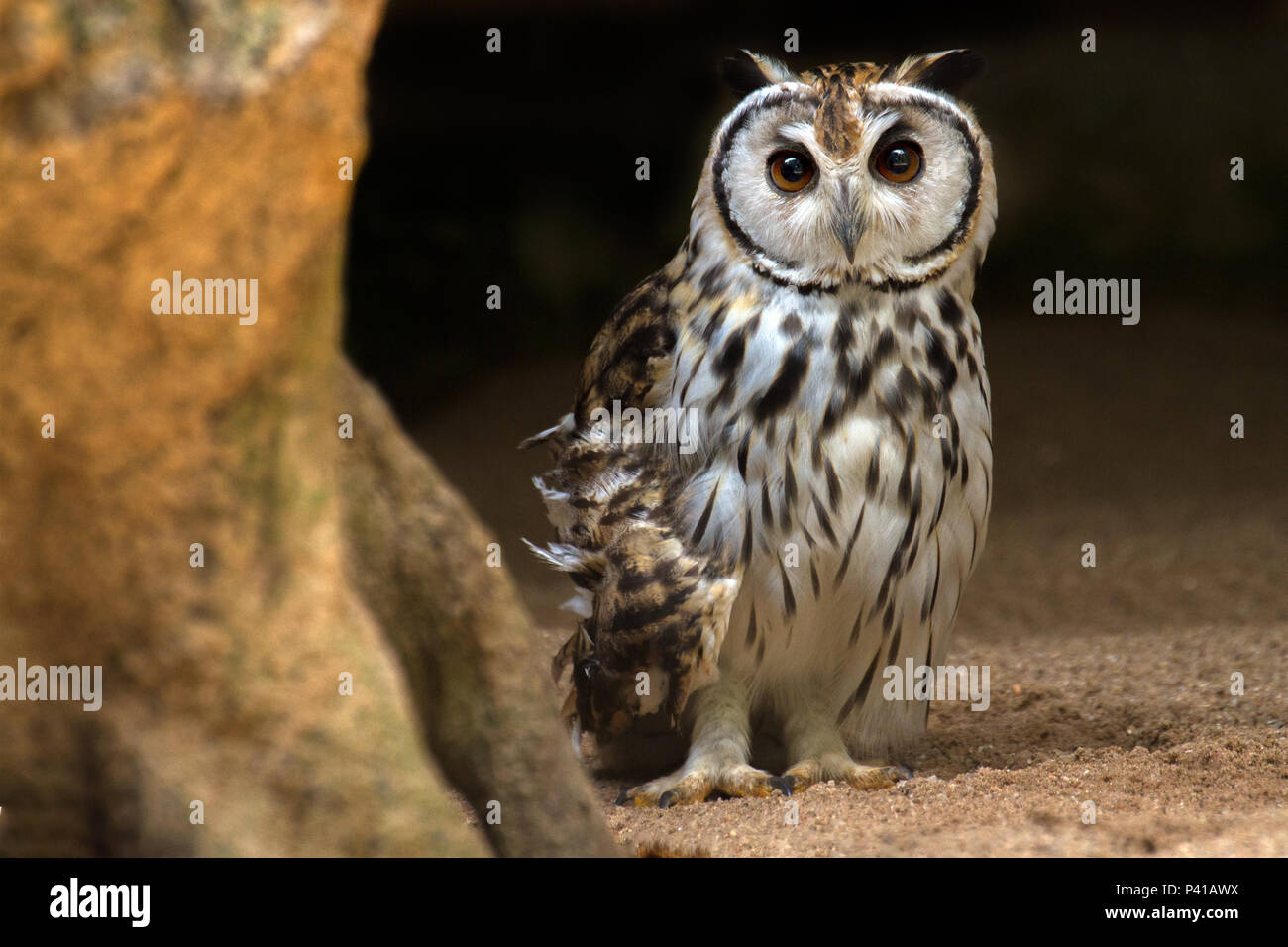 Coruja Orelhuda Coruja Pseudoscops Clamator Fauna