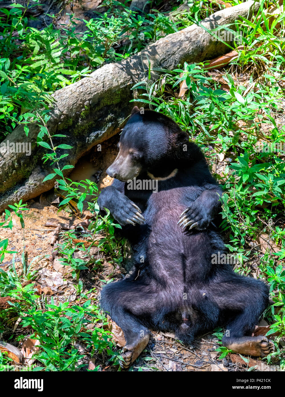 Sun Bear (Helarctos malayanus) lag auf dem Rücken im Regenwald am Bornesischen Sun Bear Conservation Centre in Sepilok, Sandakan, Borneo, Malaysia Stockfoto