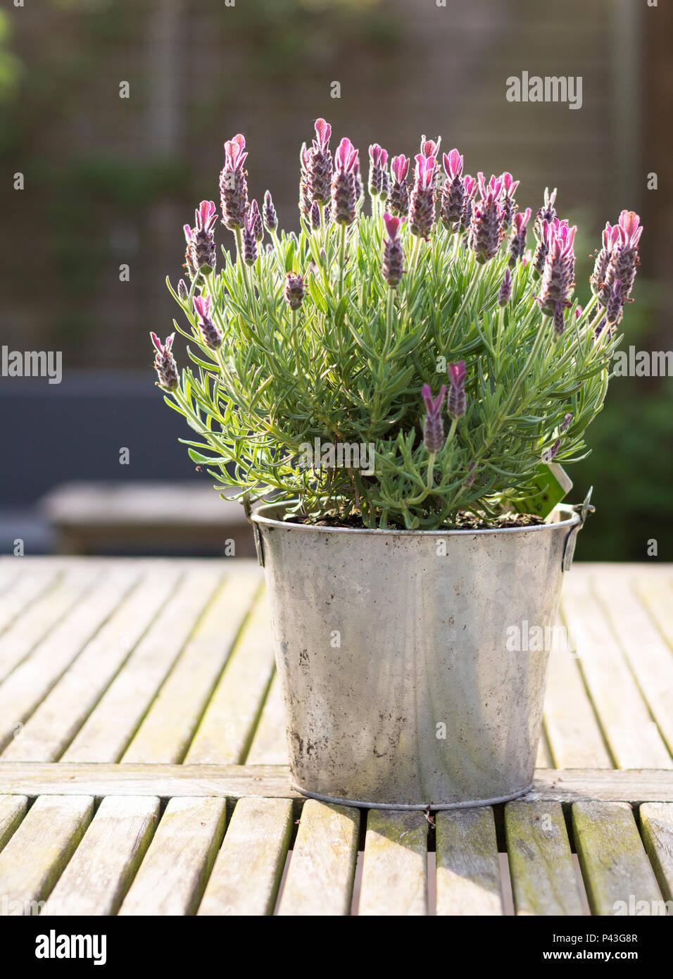 Lieblings Nahaufnahme von Lavendel Pflanze in Metall Topf auf einem &GV_69