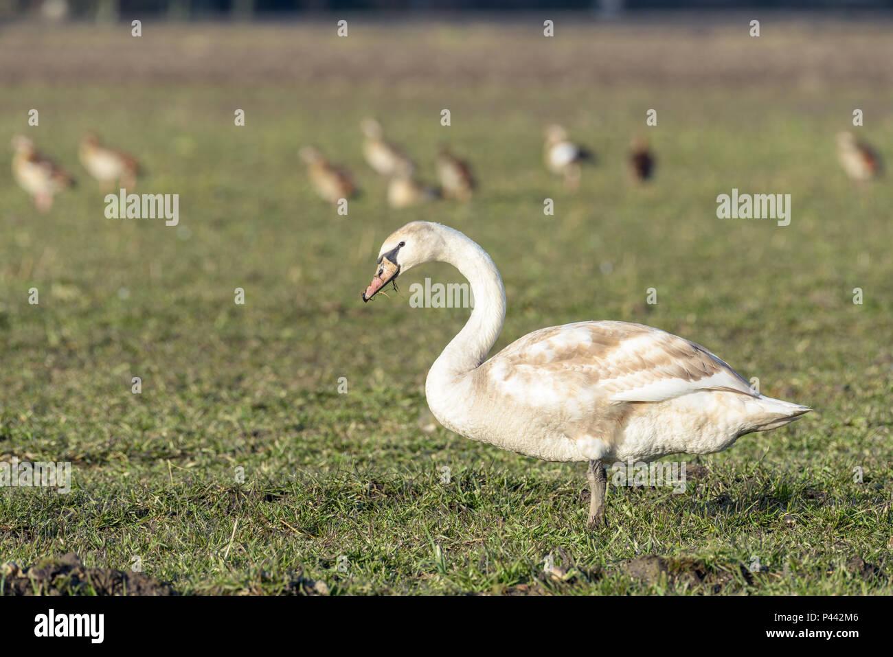 En profil Porträt einer jungen Höckerschwan stehend in ein Feld an einem sonnigen Tag im Winter. Der Schwan ist aufmerksam und beobachten. Im Hintergrund sind so Stockbild